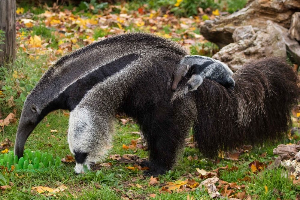Baby giant anteater 1